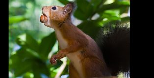featured-image-red-squirrel